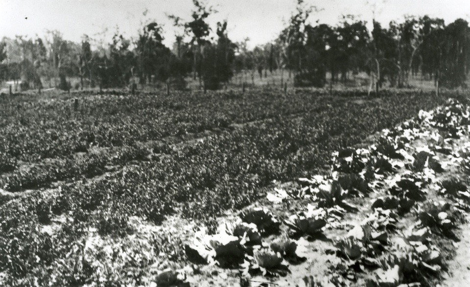 Market garden at Cherbourg Aboriginal Settlement c1930
